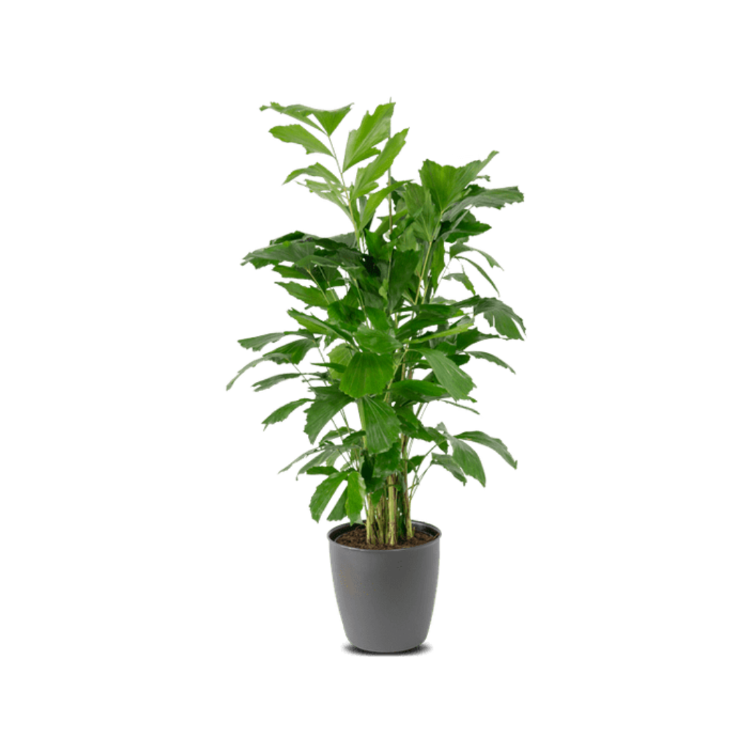 Caryota Mitis Pflanze